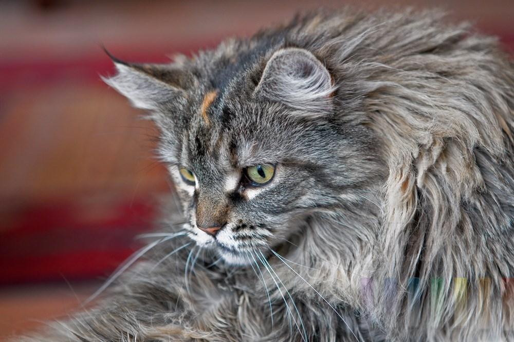 Maine Coon-Katze (weiblich) mit konzentriertem Blick, Portrait