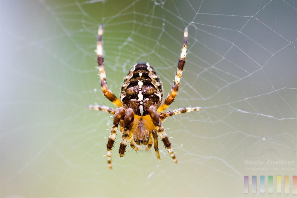 Gartenkreuzspinne (Araneus diadematus) sitzt in ihrem Radnetz und lauert auf Beute