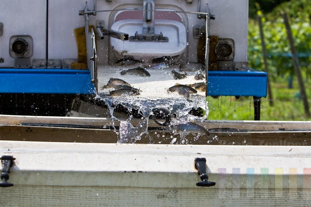 junge, lebende Forellen werden von einem Tank-LKW in eine grossen Wasserbehaelter gespuelt