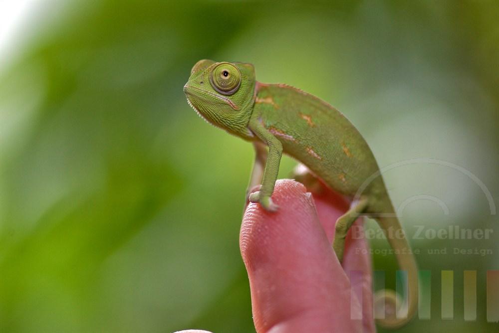Junges Jemenchamäleon (Chamaeleo calyptratus) sitzt auf Zeigefinger seines Besitzers