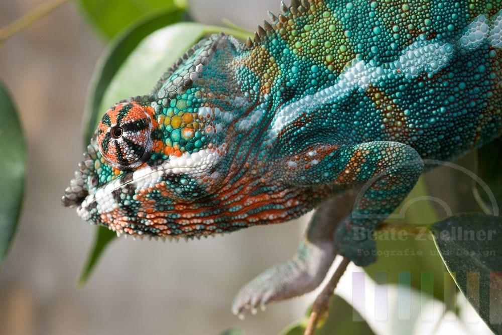männliches Panther-Chamäleon (Furcifer Pardalis) sitzt in einem Ficus Benjamini