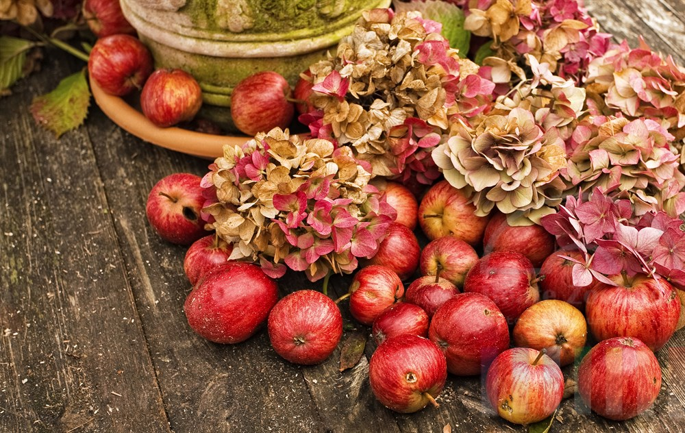 verblühte Hortensien und reife Äpfel als herbstliche Dekoration auf einem verwitterten alten Holztisch