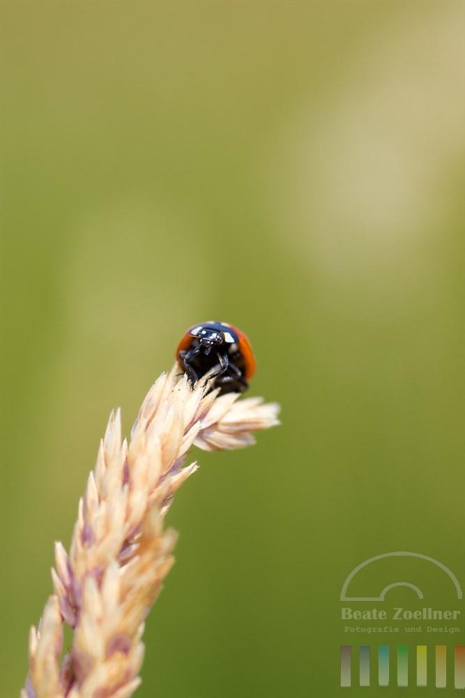 Siebenpunkt-Marienkäfer (Coccinellidae) balanciert auf der Spitze eines blühendes Grases