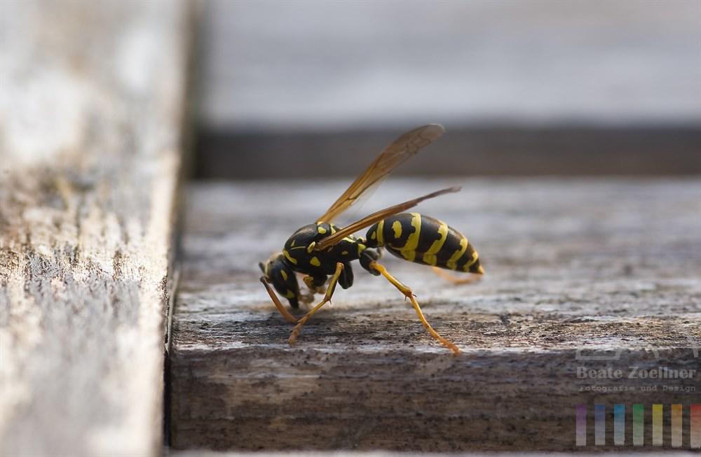 Wespe (Vespula vulgaris) raspelt Holz von einem alten Gartenstuhl für den Nestbau