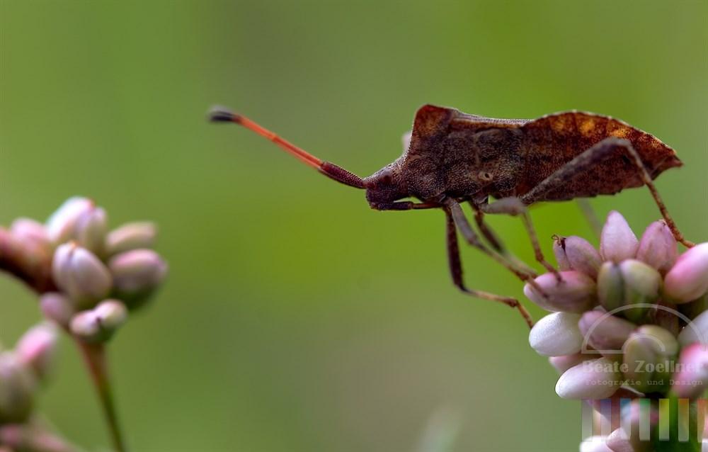 Makro, Nahaufnahme: Lederwanze (Coreus marginatus) kurz vor dem Wechsel von einer Wiesenknöterichblüte auf die andere. Es wirkt, als würde sie noch überlegen, ob sie es wagen soll oder nicht