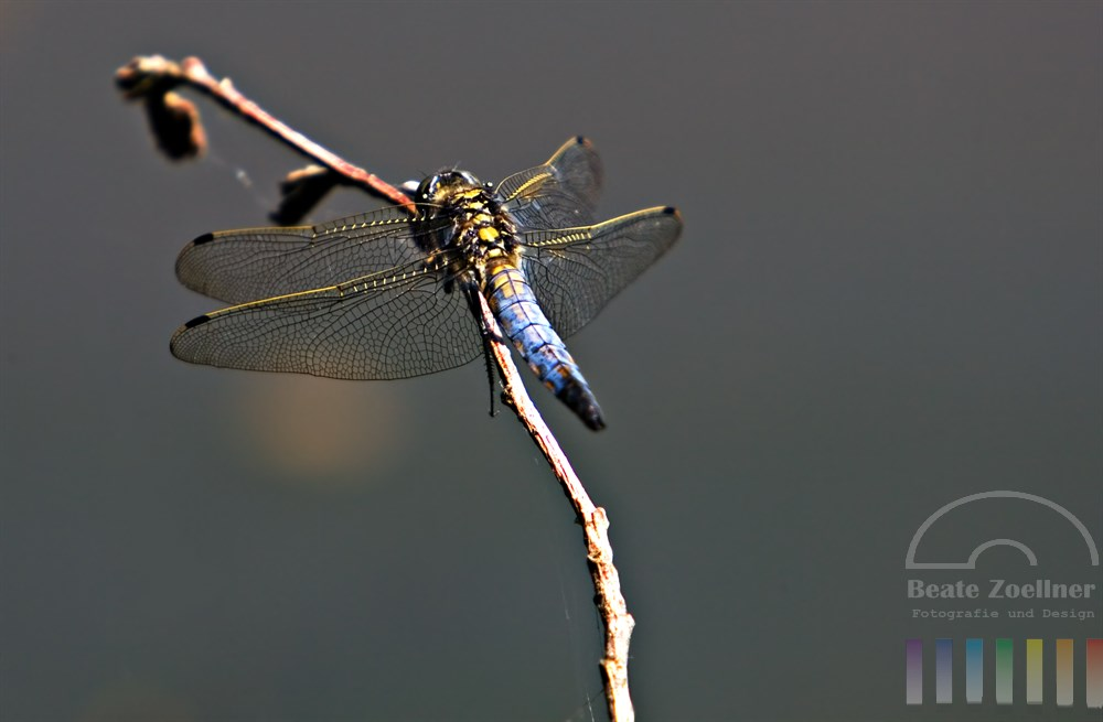 Plattbauch-Libelle (Libellula depressa) sitzt auf einem Zweig über Wasser im Sonnenschein