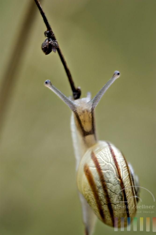 Makro: Mini-Schnecke klettert verdorrten Halm empor