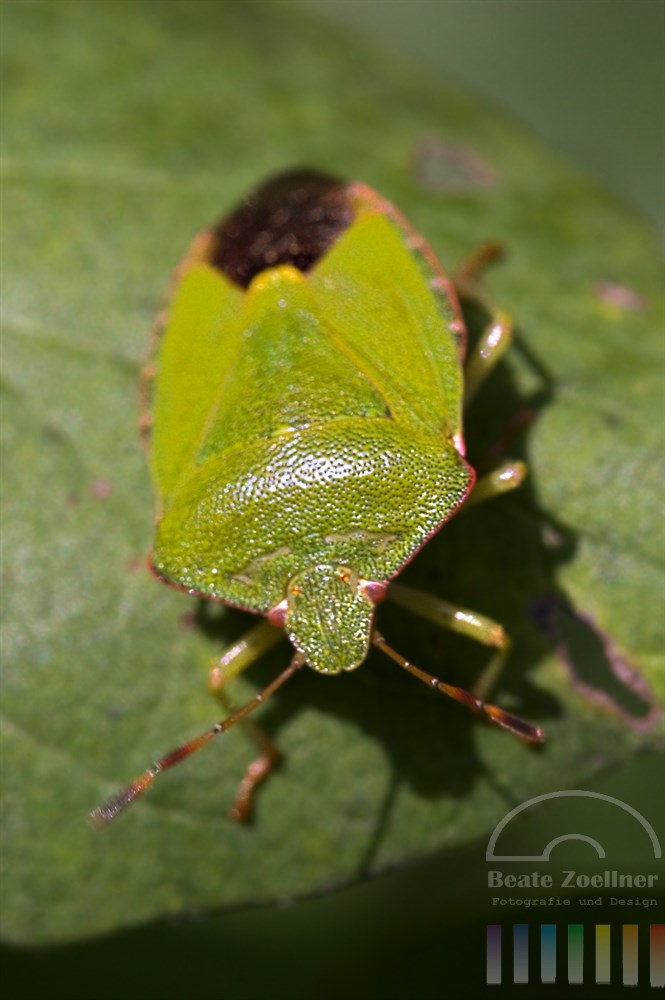 Makro: Grüne Baumwanze (Palomena prasina) auf Blatt