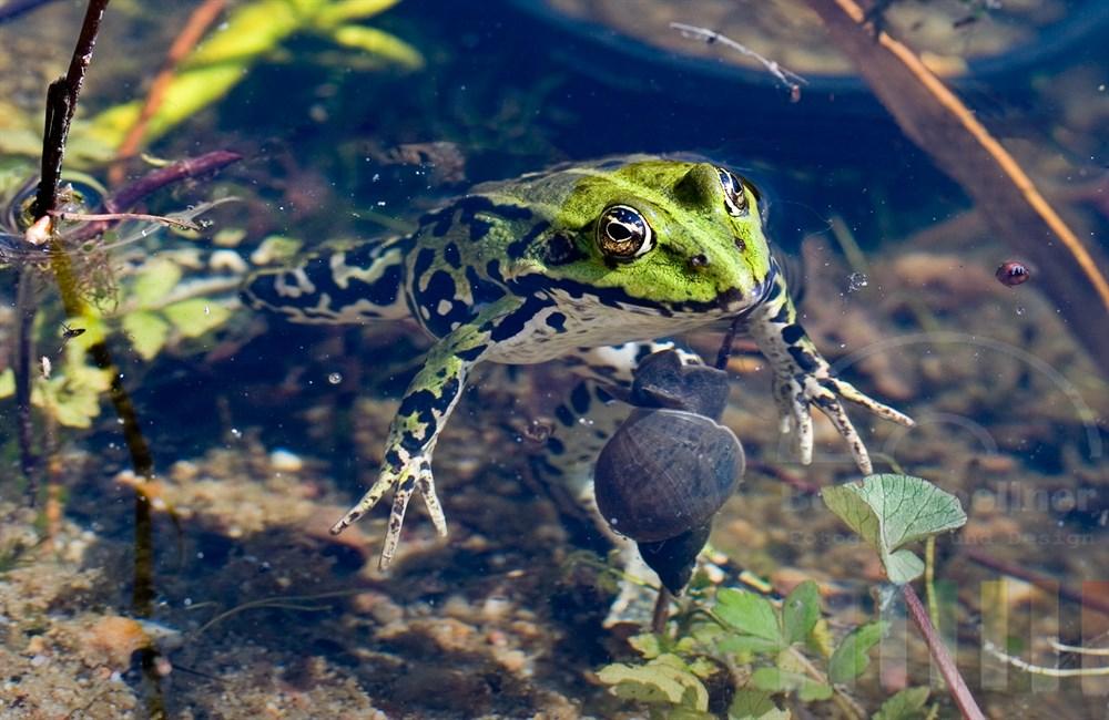 grüner Frosch sitzt im Gartenteich, hält seinen Kopf über Wasser und scheint sich zu sonnen