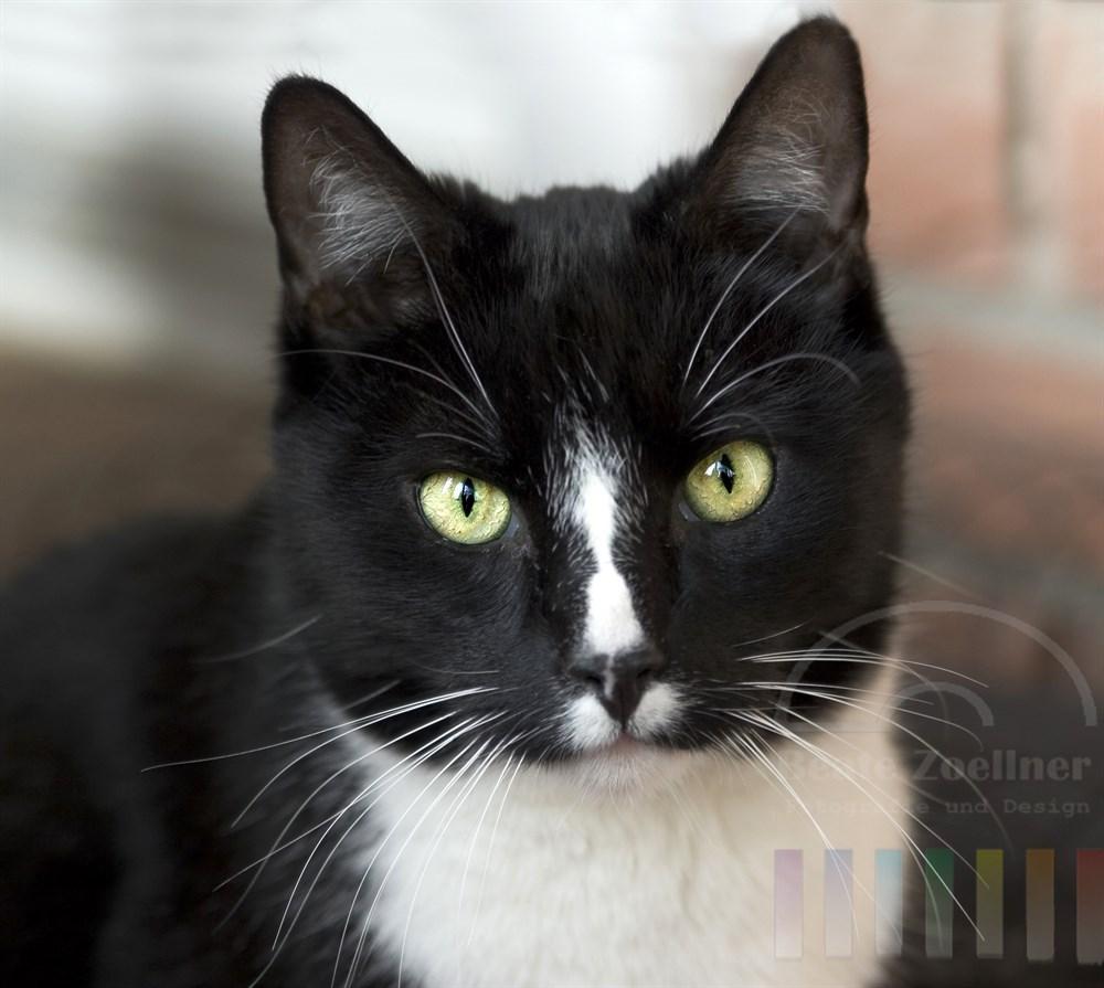 schwarzweisse Hauskatze mit hübscher Fellzeichnung schaut direkt in die Kamera