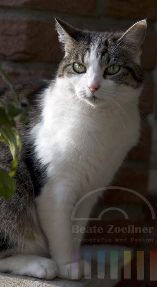 weiß-grau gestromte Hauskatze sitzt auf Balkongeländer und lässt sich  die Sonne auf das Fell scheinen