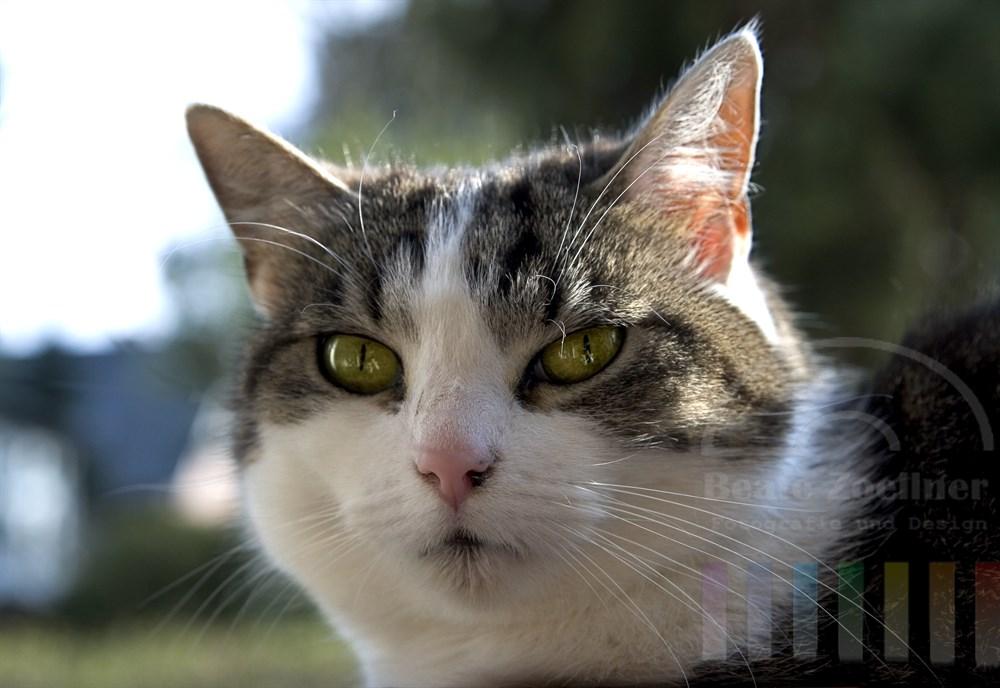 Nahaufnahme: Kopf einer Hauskatze (weiß grau-gestromt), Sonne scheint auf ihr Fell