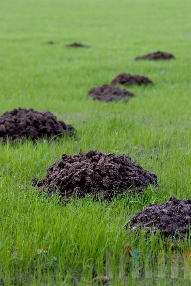 frische Maulwurfhügel in neu angesäter Rasenfläche