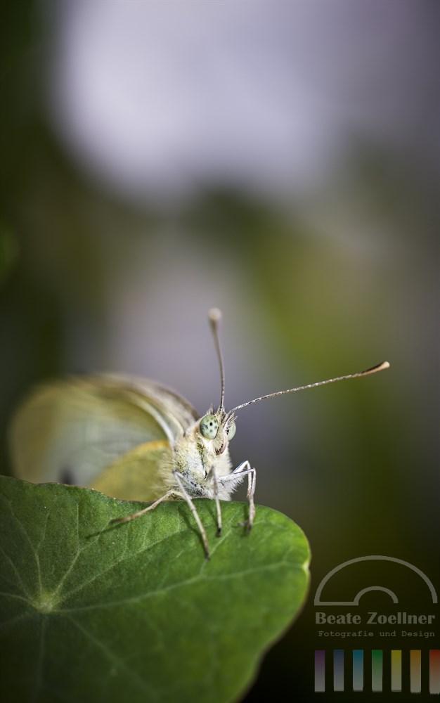 Makroaufnahme: Kohlweissling-Schmetterling sitzt auf einem Kapuzinerkresse-Blatt