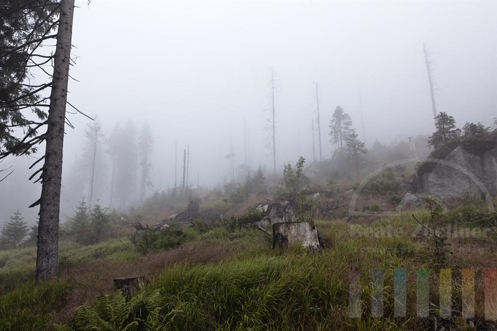 Nebelstimmung im Bayerischen Wald im Naturschutzgebiet am Dreisesselberg. Borkenkaefer haben die Nadelbaeume absterben lassen