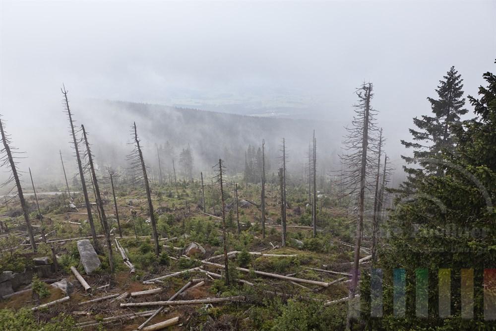 Blick vom Dreisesselberg im Bayerischen Wald ueber einen vom Borkenkaefer stark geschaedigten Wald mit zahlreichen umgestuerzten toten Baeumen, Nebelstimmung