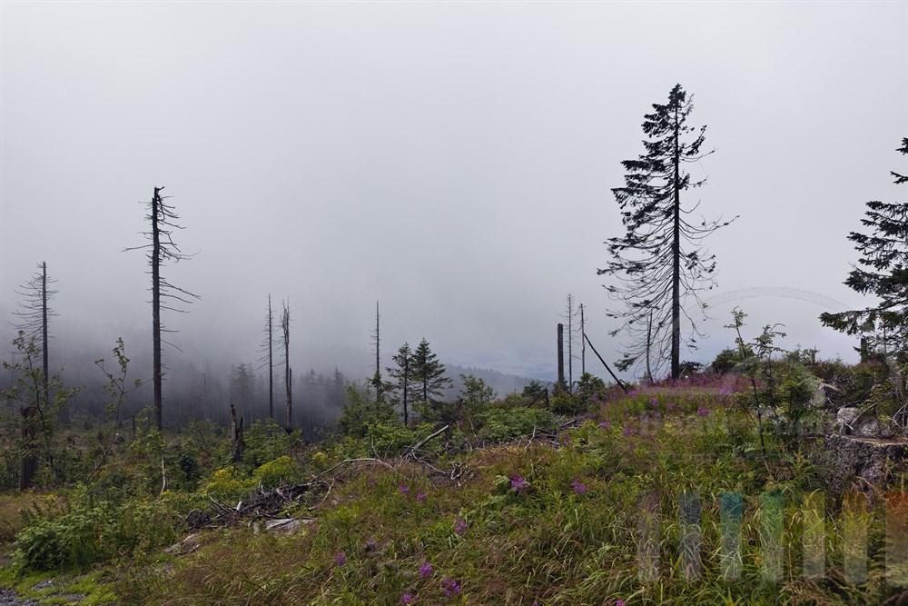 Blick vom Dreisesselberg im Bayerischen Wald ueber einen vom Borkenkaefer stark geschaedigten Wald mit  toten Baeumen, Nebelstimmung