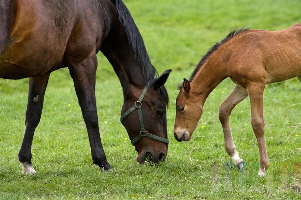 Mutterstute und ihr Fohlen stehen einander gegenüber und fressen Gras auf der Weide