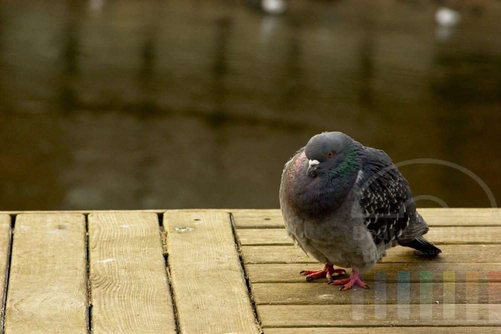 wilde Stadt-Taube sitzt aufgeplustert auf Holzbrettern