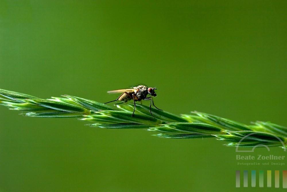 Makro, Nahaufnahme: Fliege sitzt auf auf Rispe eines Grases, Hintergrund grün