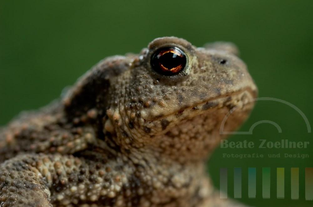 Makro: Nauafnahme des Kopfes einer kleinen Kröte, Hintergrund grün