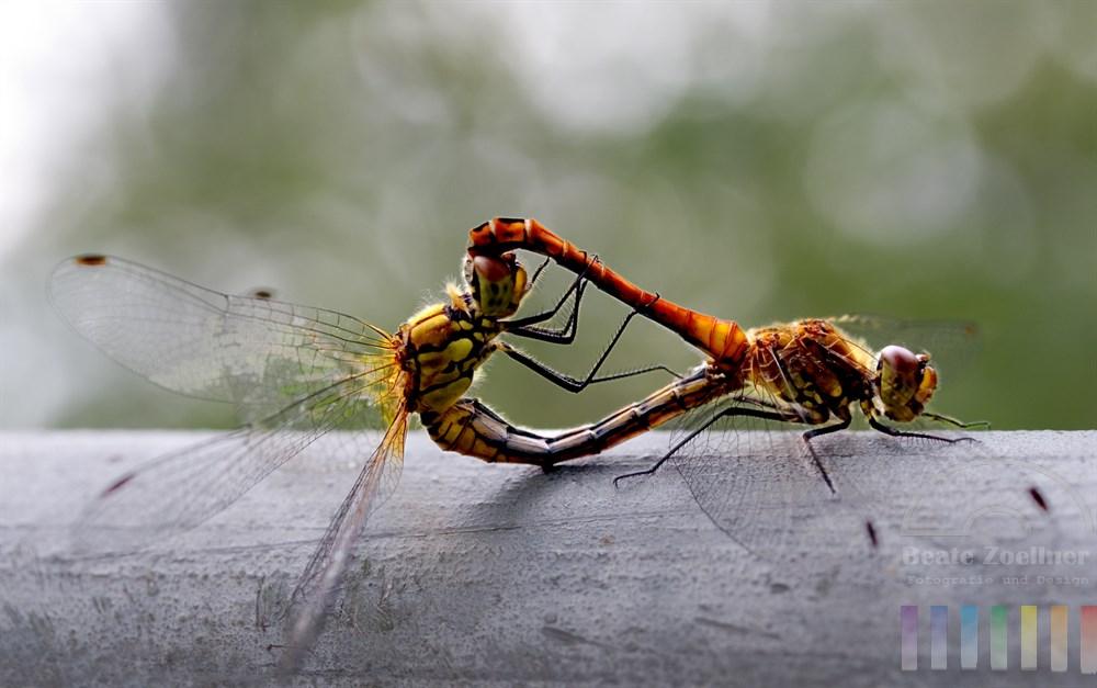 Heide-Libellen paaren sich
