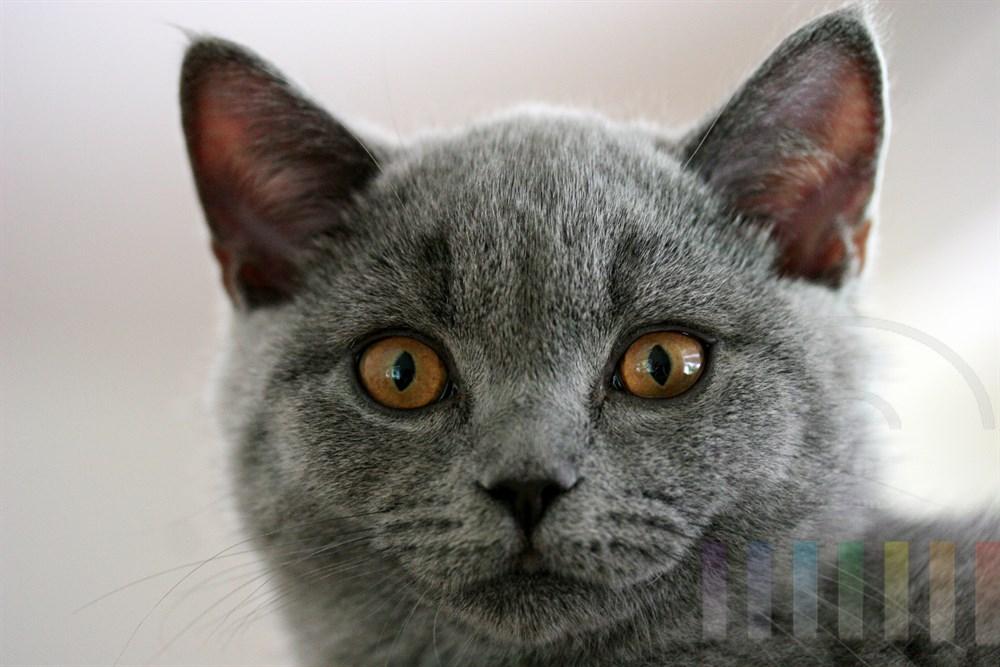 Kathäuserkatze, Portrait: Katze schaut in die Kamera