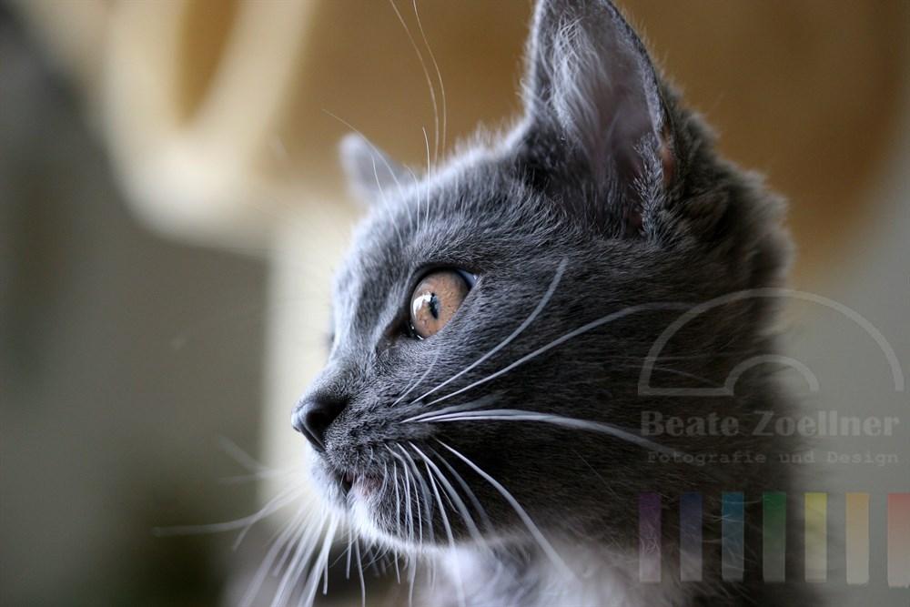 Kleine Kathäuserkatze im Profil, nah