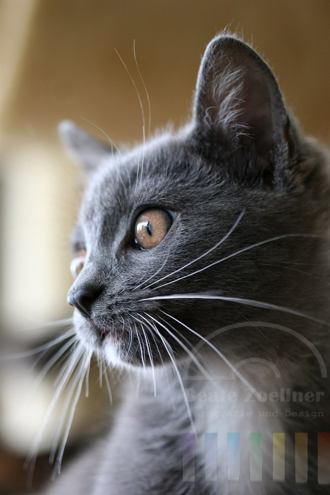Kleine Kathäuserkatze im Profil, Portrait