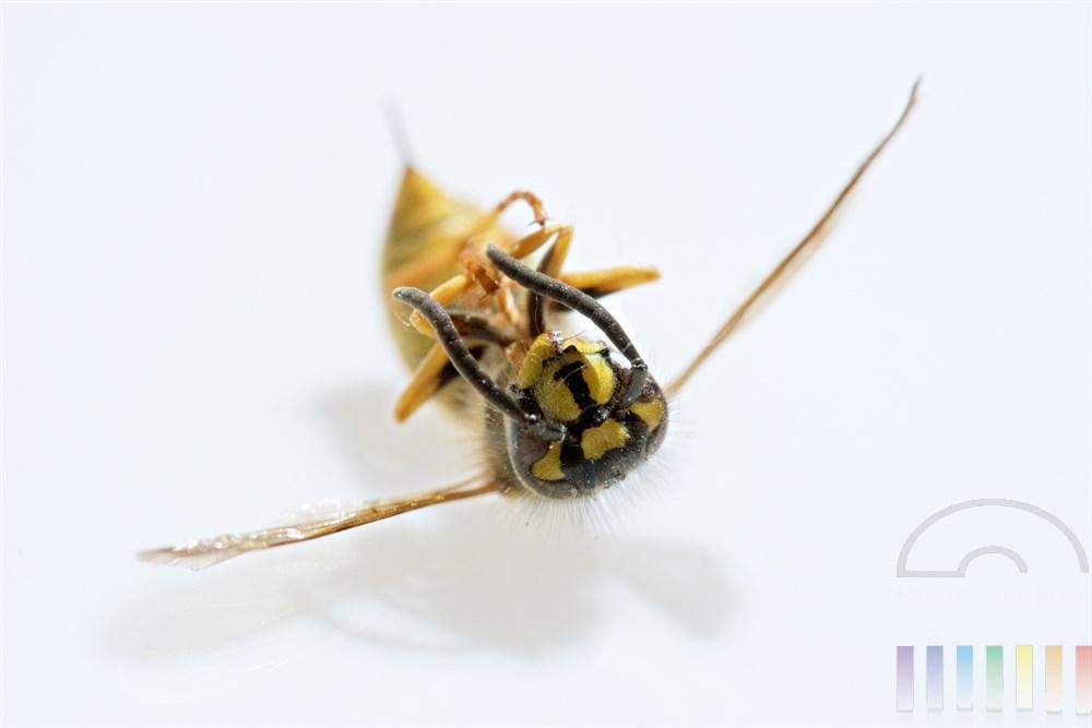 tote Wespe liegt auf dem Rücken, Stachel deutlich sichtbar. Hintegrund weiss