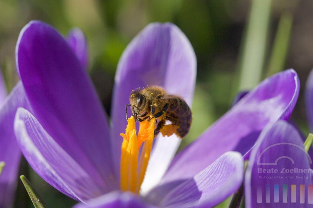 Biene sammelt in blühenden Krokuskelchen Pollen