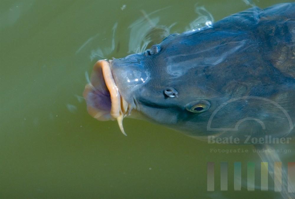 Spiegelkarpfen schwimmt mit geöffnetem Maul an der Wasseroberfläche