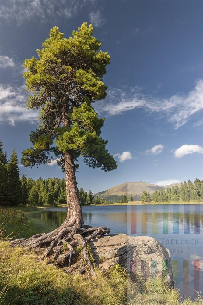 Alte Berg- oder Zirbelkiefer (Pinus cembra) klammert sich mit imposantem Wurzelgeflecht an einen Felsen am Ufer des Schwarzsees auf der Turracherhöhe in Österreich