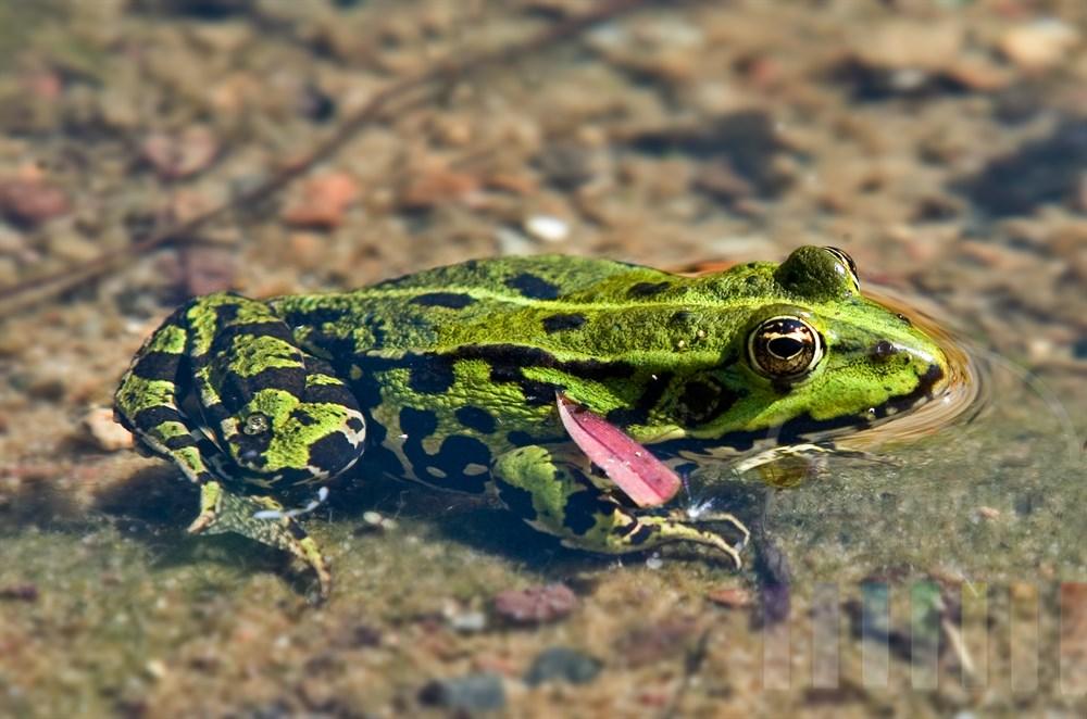 Nahaufnahme: Frosch im Gartenteich