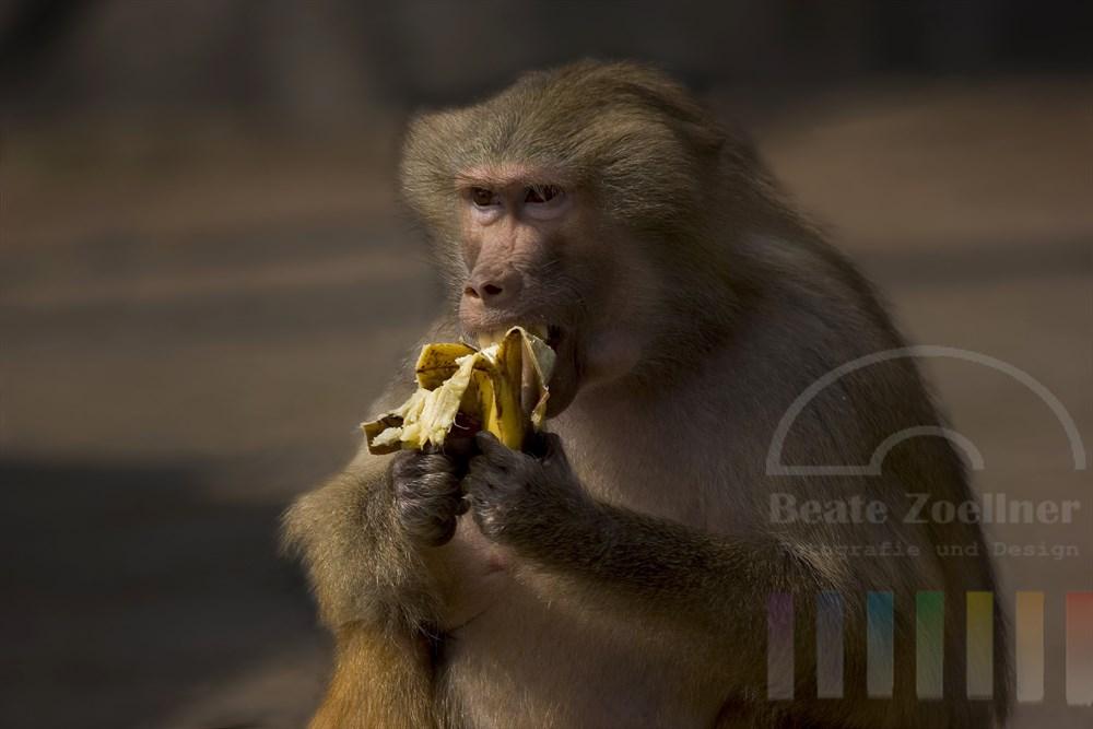 Mantelpavian im Zoo-Aussengehege sitzt im Sonnenschein und isst eine Banane, die er zuvor sorgfältig geschält hat und mit beiden Händen (Pfoten) hält
