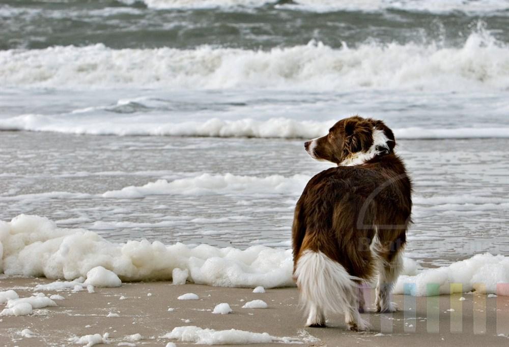 Ein Hund der Rasse Border Collie steht am Nordseestrand und beobachtet die stürmische Brandung, der Wind spielt in seinem Fell