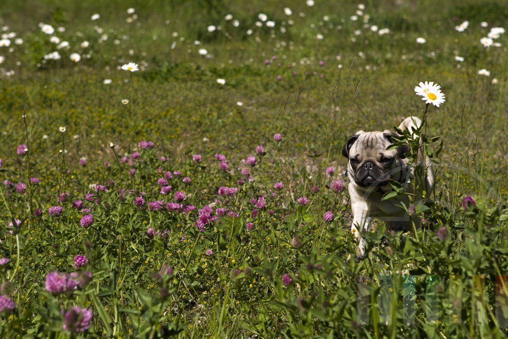 Mopswelpe (5 Monate alt) spaziert über blühende Frühlingswiese