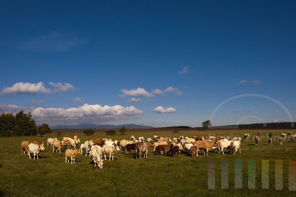 Rinder auf einer spätsommerlichen Weide - im Hintergrund der Oberharz mit dem Brocken in der Mitte