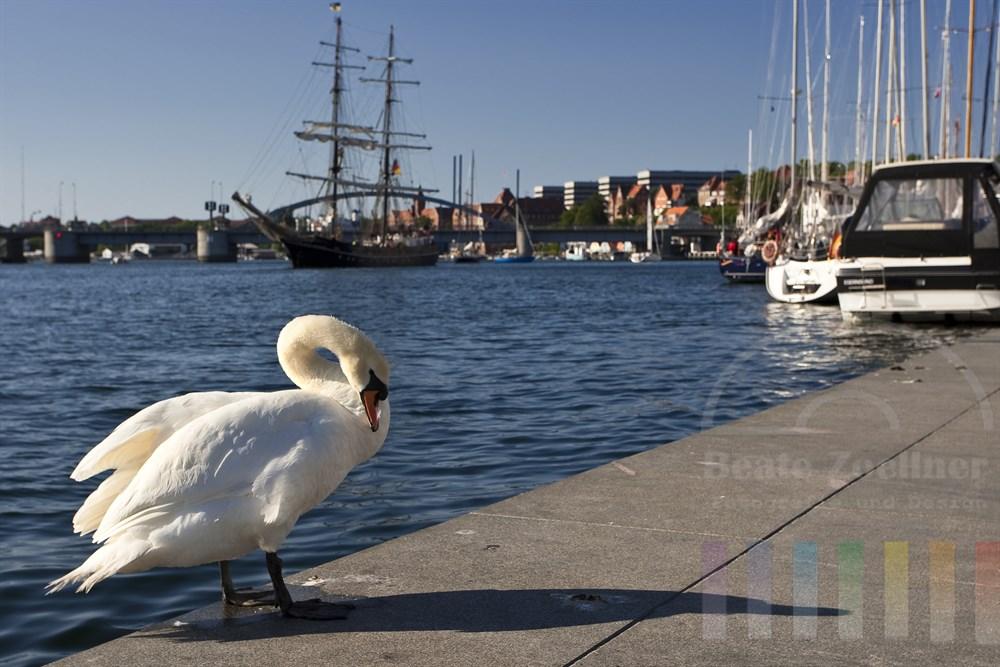 großer Höckerschwan putzt sein Gefieder im Hafen von Sonderburg (Dänemark), Im Hintergrund ein fährt ein historisches Traditions-Segelschiff, sonnig