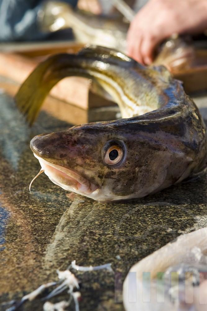 frisch geangelter Dorsch - im Hintergrund und Vordergrund werden gerade weitere Fische zerlegt und filettiert