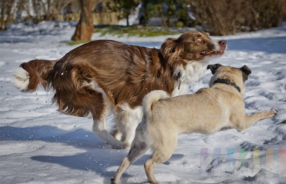 Mops und Border Collie, rennen durch den Schnee. Der Collie haelt einen Stock im Maul, den der Mops ihm unbedingt abjagen will.