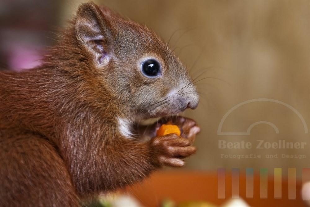 Junges Eichhörnchen (Handaufzucht) sitzt am Rand einer Futter-Schale und knabbert an einem Stückchen Karotte