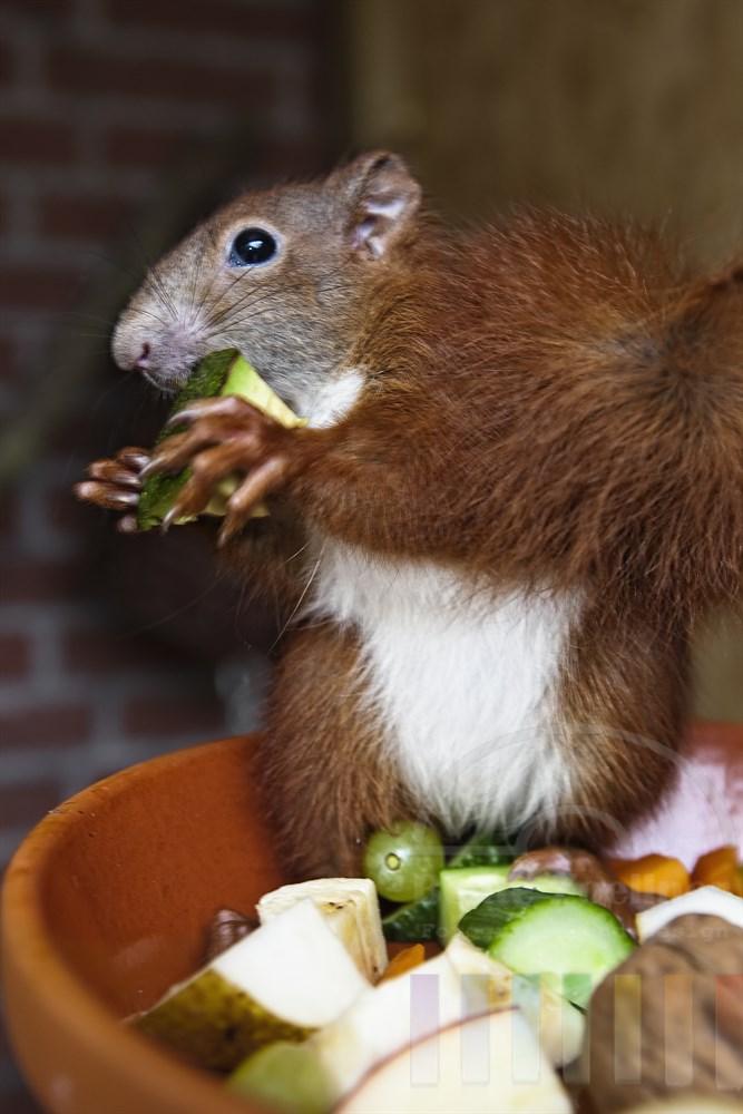 Junges Eichhörnchen (Handaufzucht) sitzt am Rand einer Schale mit Obst und Nüssen. Es hält ein Stückchen Avocado in den Pfoten und will gerade hineinbeissen. Es muss sich noch tüchtig Winterspeck anfressen, weil es in wenigen Tagen ausgewildert werden soll