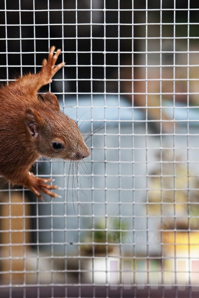 Eichhoernchen klettert am Gitter seines Aussengeheges
