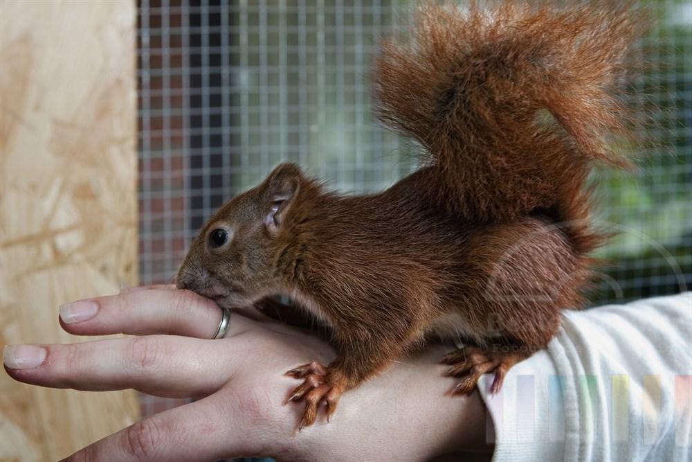 Eichhörnchen beschnuppert die Hand seiner Zieh-Mutter