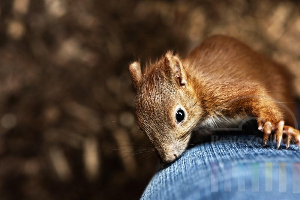 Junges Eichhörnchen (Handaufzucht) erklimmt das Bein der Fotografin