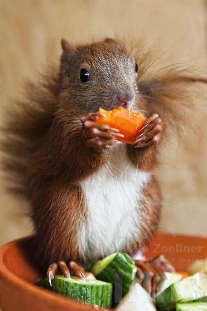 Junges Eichhörnchen (Handaufzucht) sitzt am Rand einer Schale mit Obst und Nüssen. Es hält ein Stückchen Avocado in den Pfoten und will gerade hineinbeissen. Es muss sich noch tüchtig Winterspeck anfressen bevor es in den nächsten Tagen ausgewildert wird