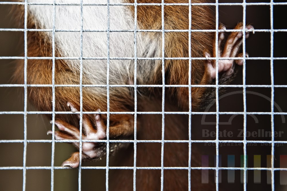 Eichhoernchen klettert in seinem Aussengehege am Gitter entlang