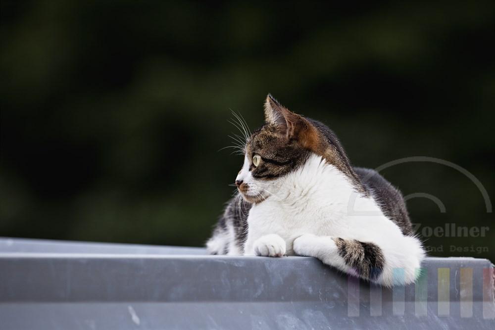 bunte Hauskatze liegt laessig auf einem Vordach