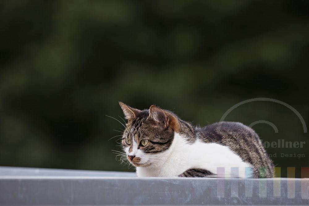 bunte Hauskatze liegt lauernd auf einem Vordach